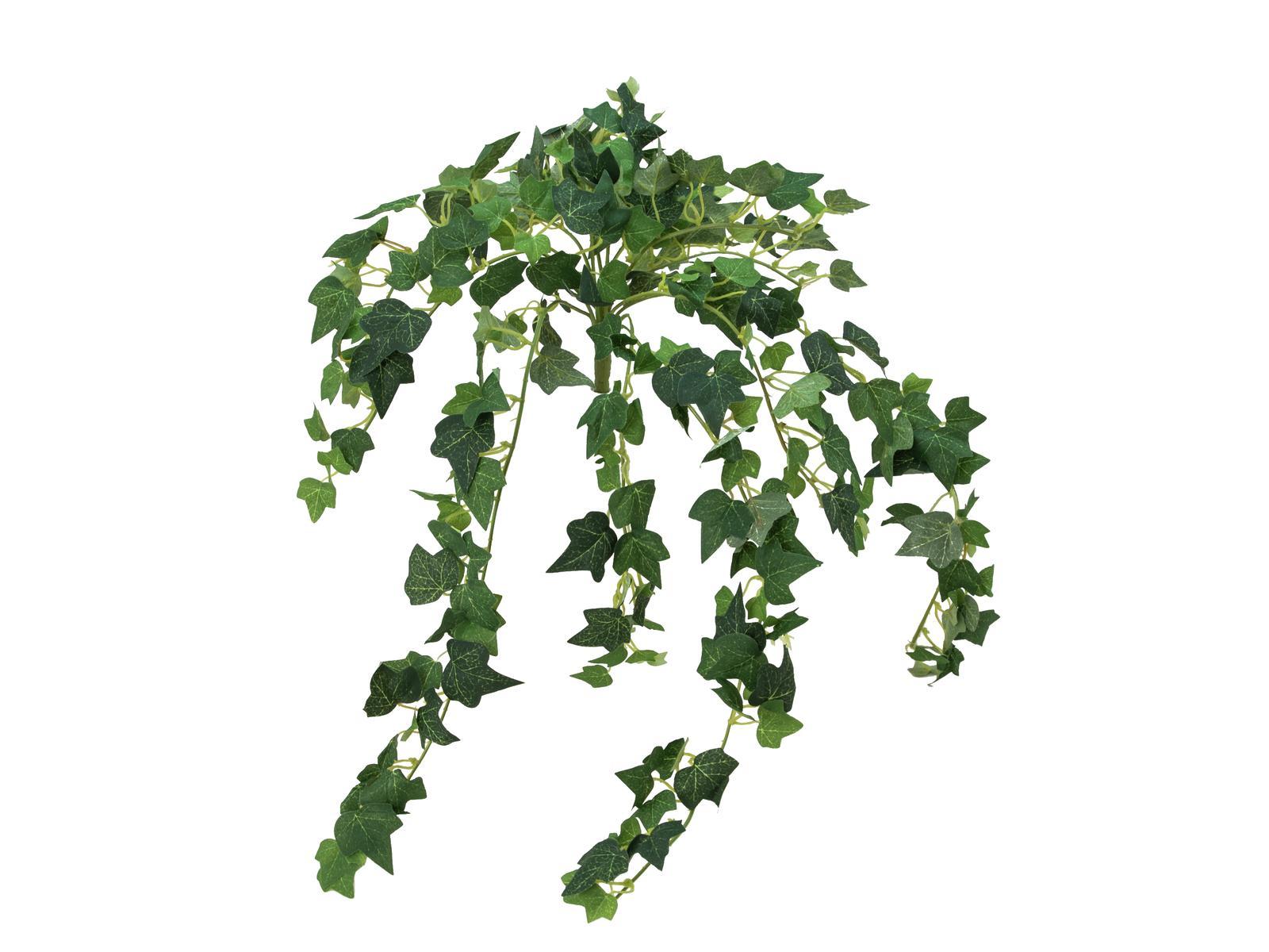 Břečťan trs, 50 cm