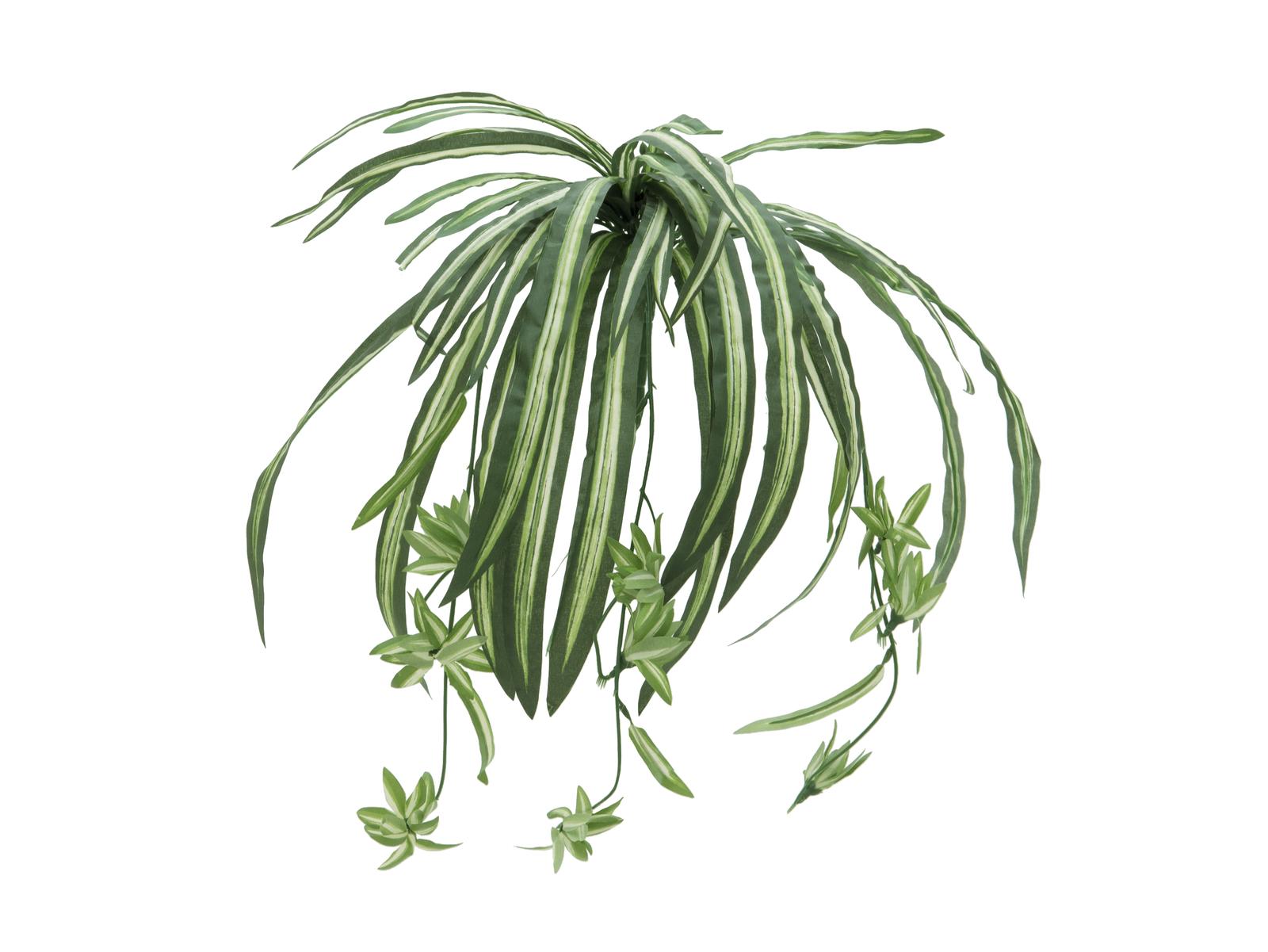 Zelenec jedovatý, 60 cm