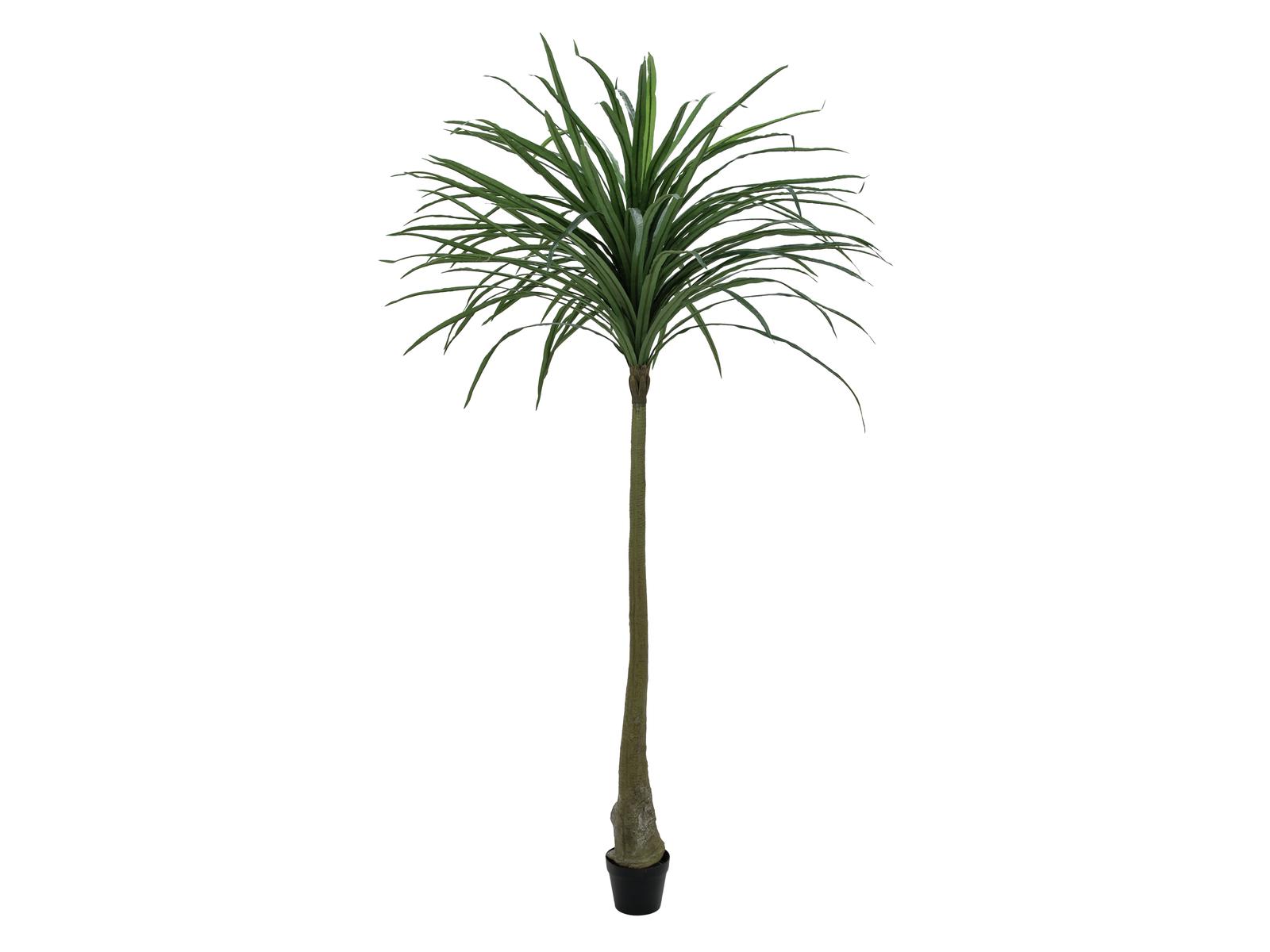 Dracena zelená, 220 cm
