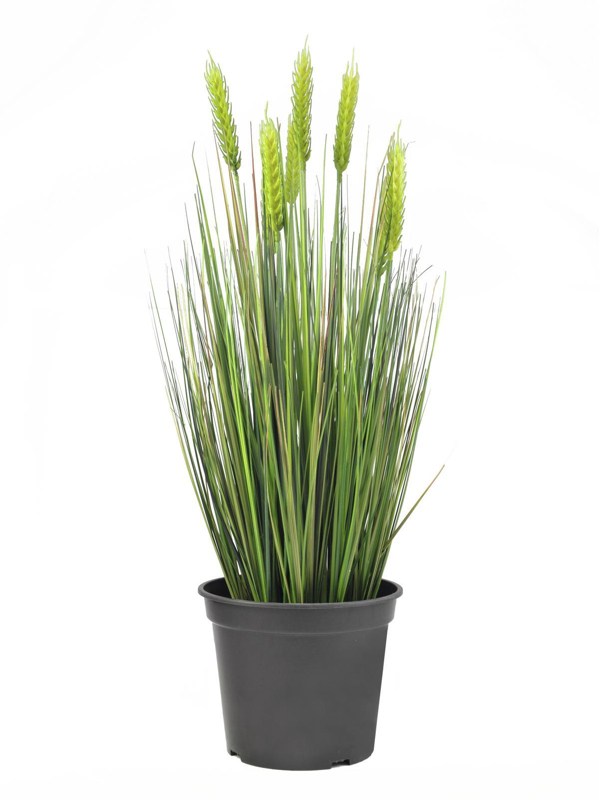 Pšenice zelená v květináči, 60 cm