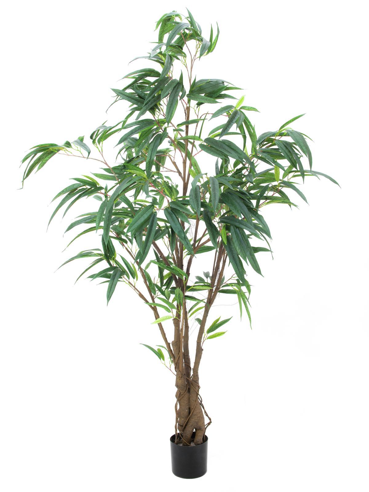 Fikus Longifolia, 180 cm