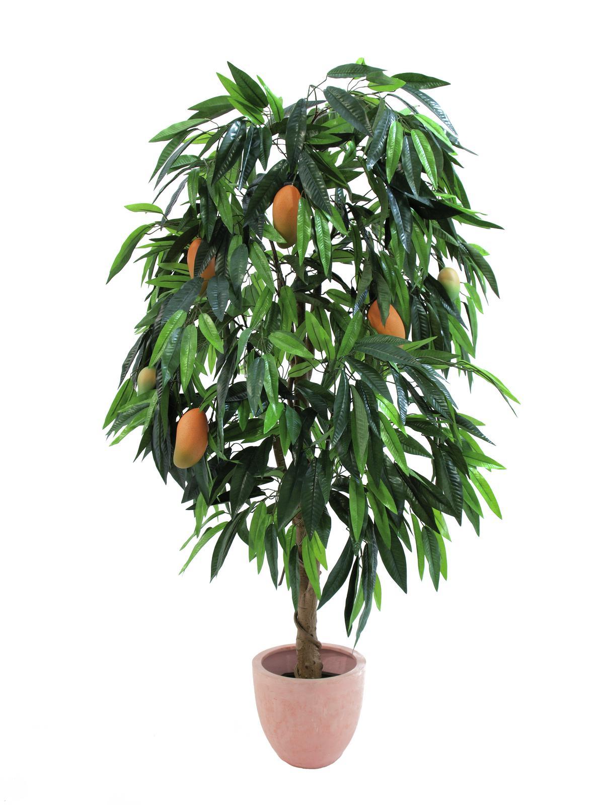 Strom Mango s plody v květináči, 165 cm