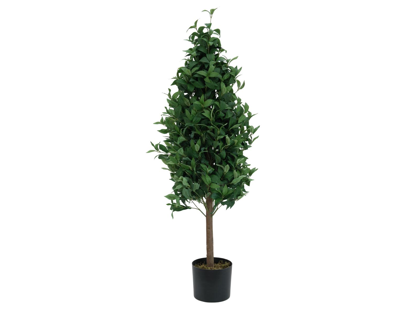 Vavřín stromek, 120 cm