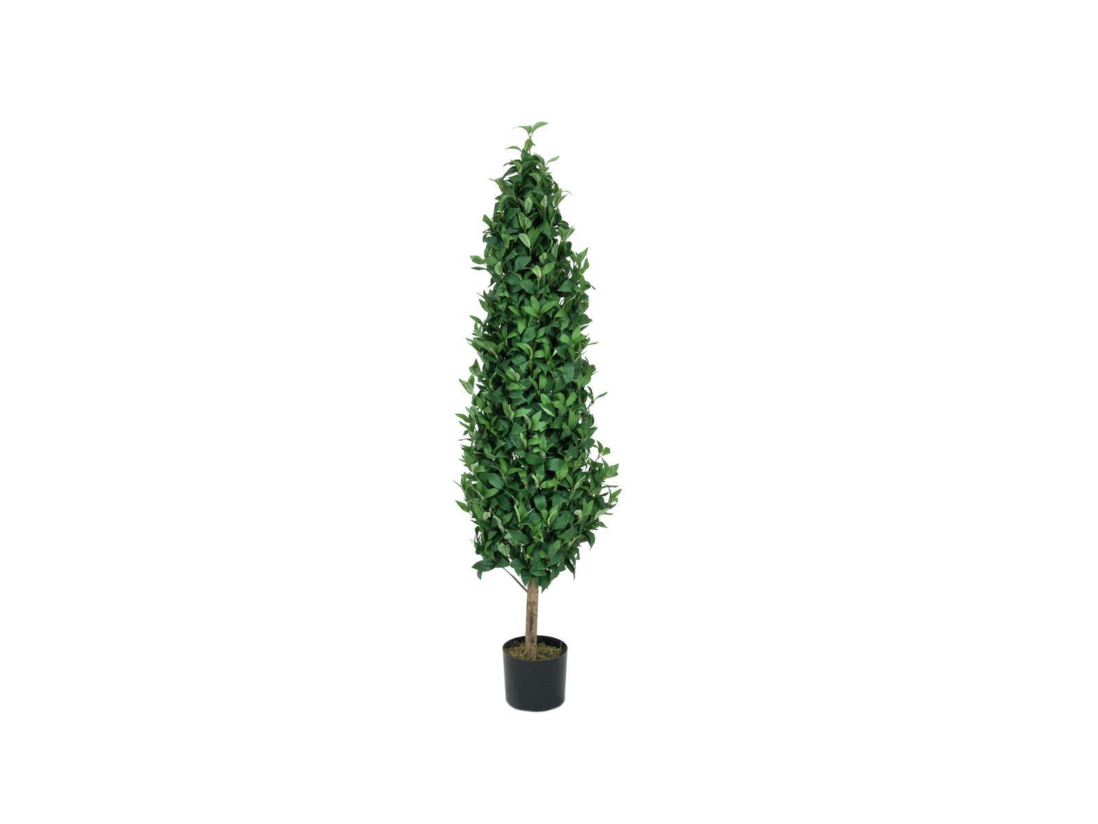 Vavřín stromek, 150 cm
