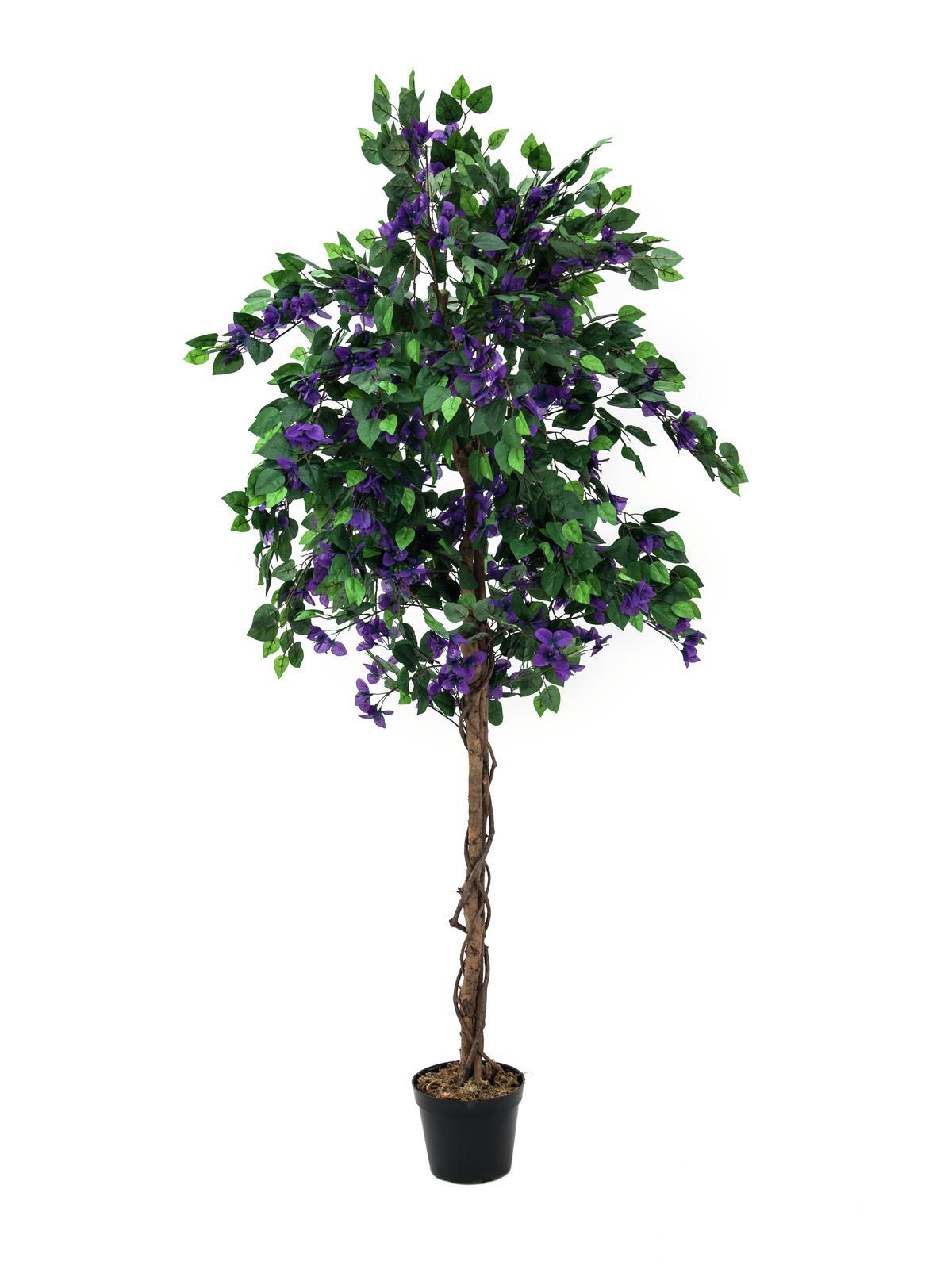 Bougainvillea fialová, 150 cm