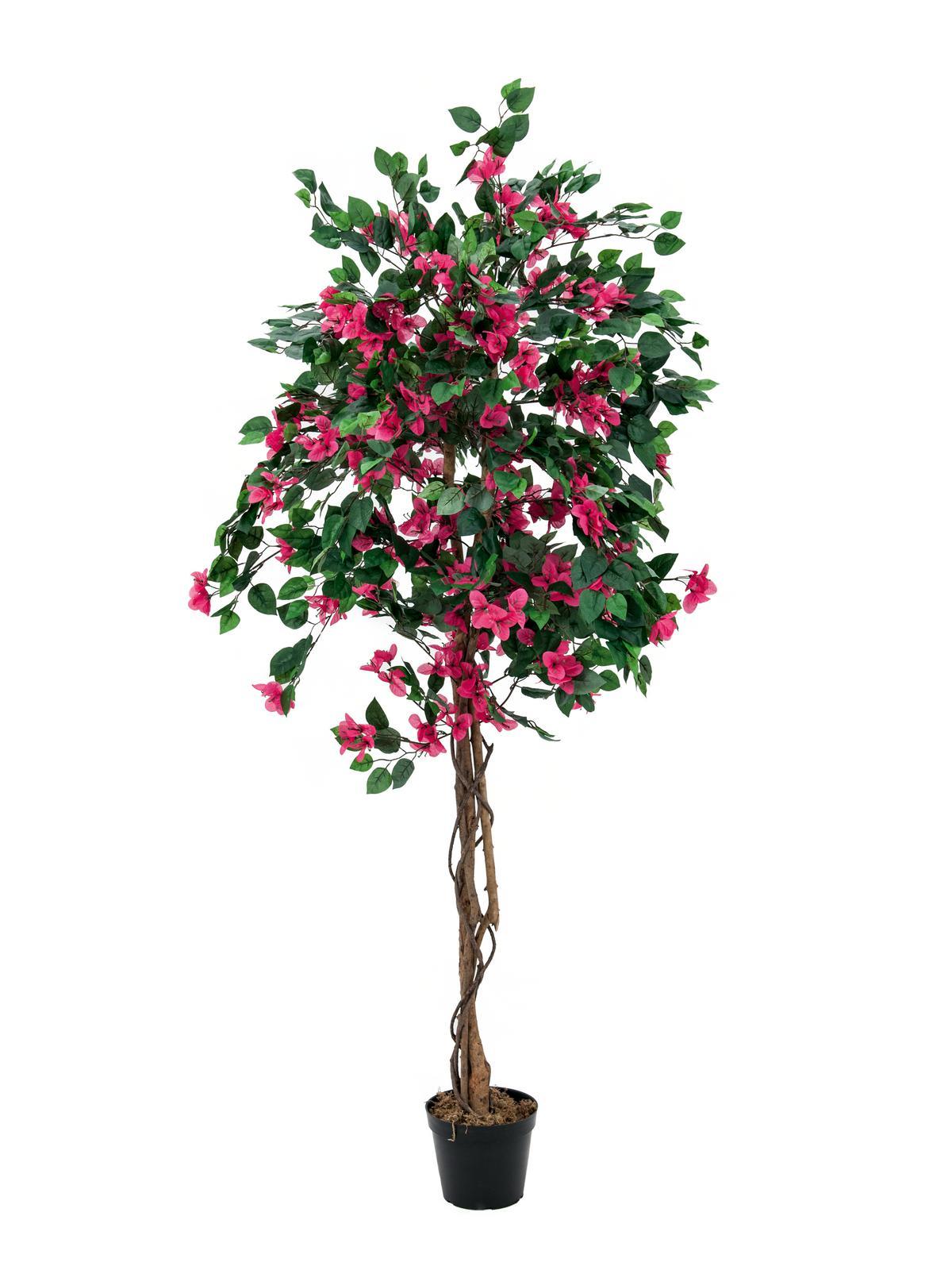 Bougainvillea červená, 150 cm