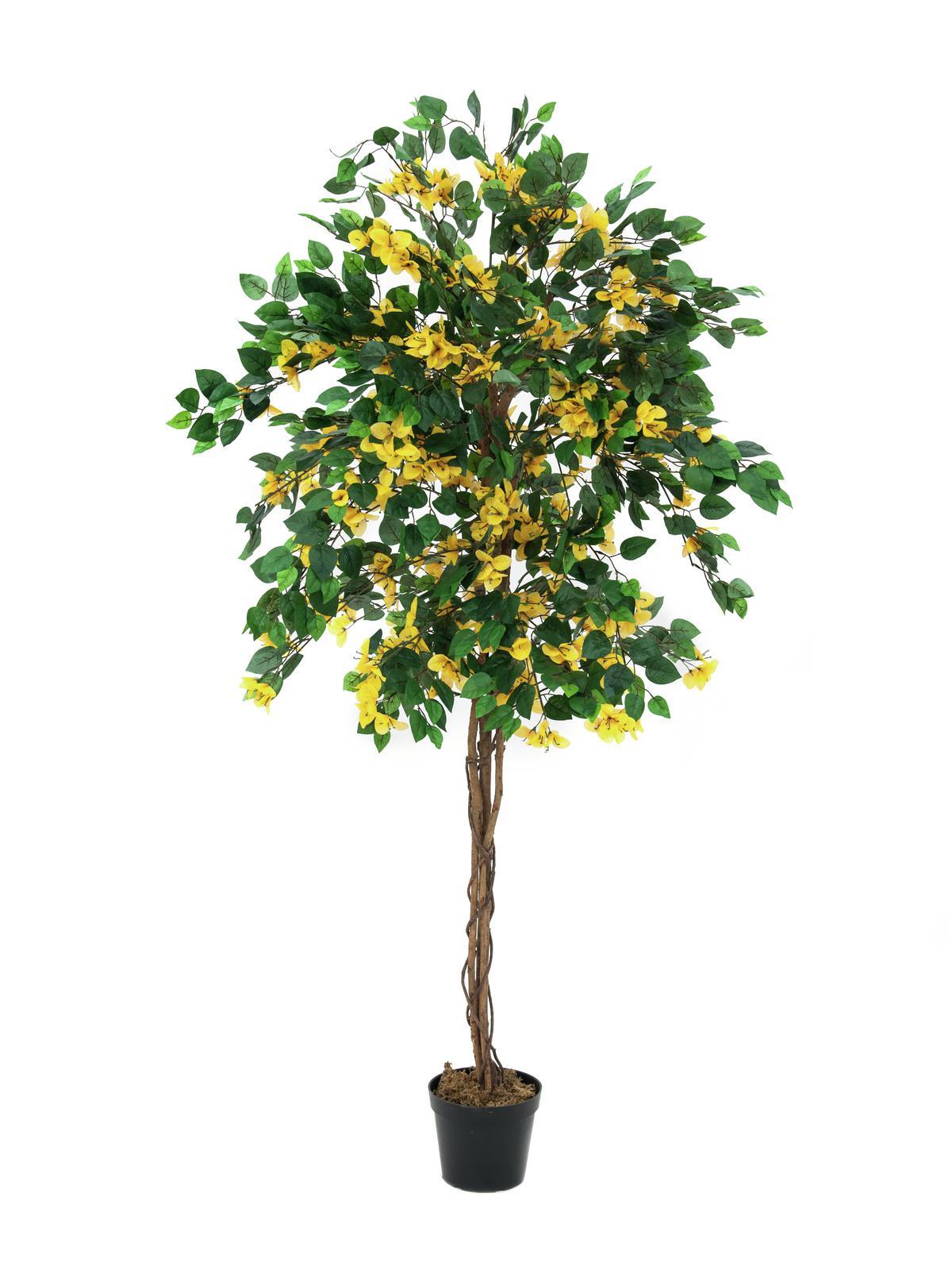 Bougainvillea žlutá, 150 cm