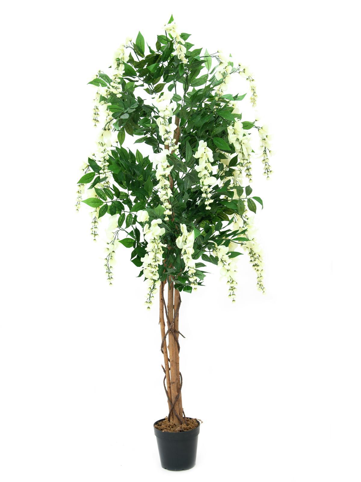 Vistárie strom, bílá, 180 cm