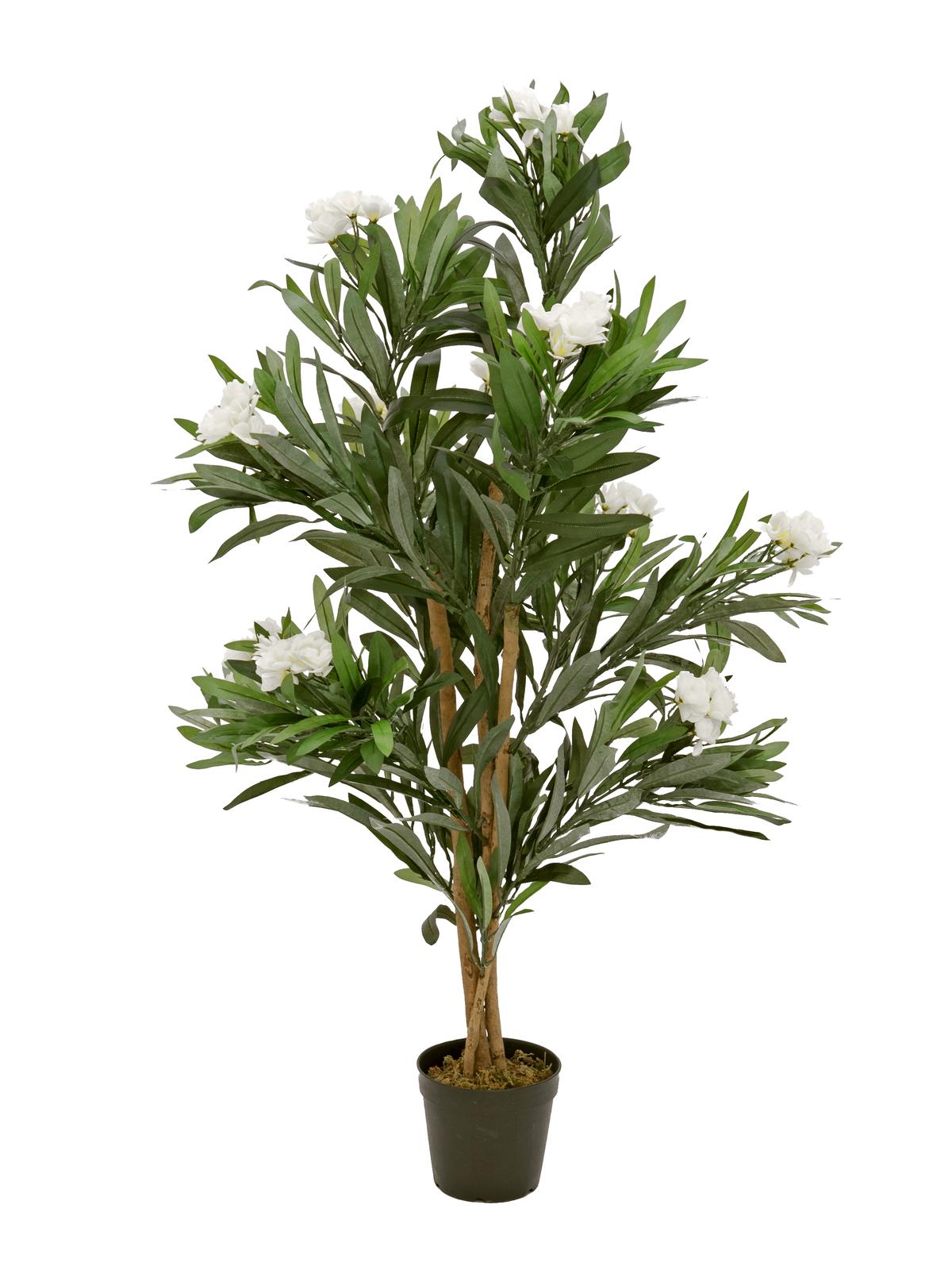 Oleandr, bílý, 120 cm