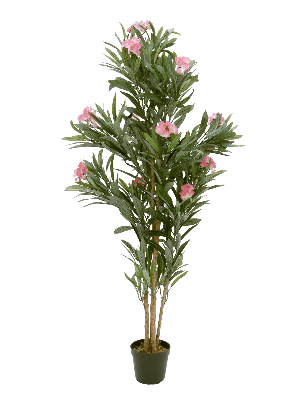 Oleandr, růžový, 150 cm
