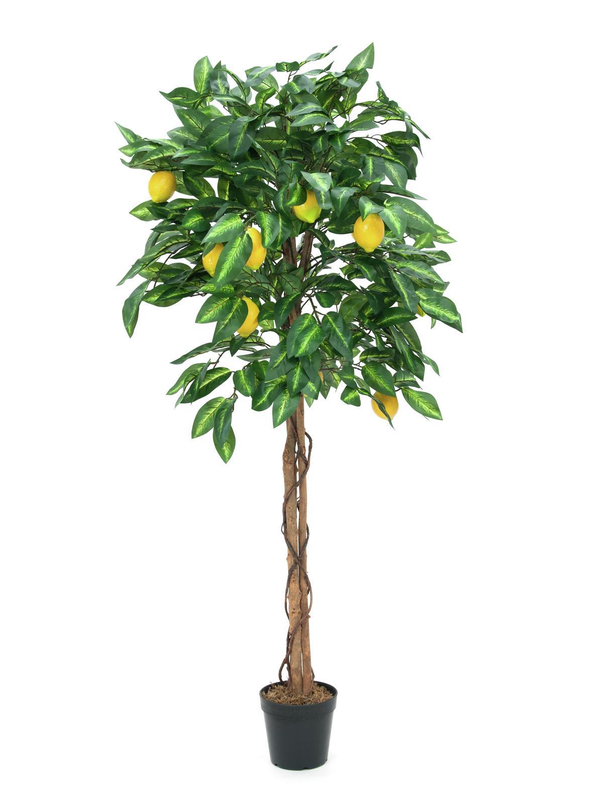 Citrusovník 180 cm