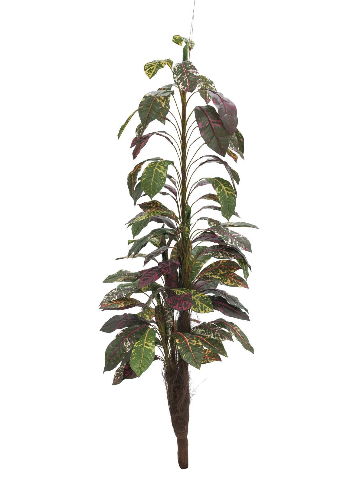 Croton mit Cocosstamm, 180 cm