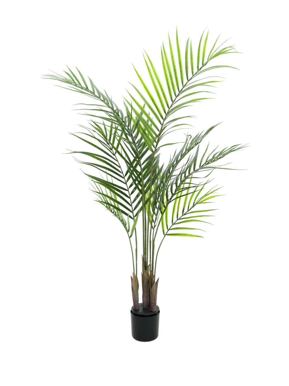 Areca palma s velkými listy, 125 cm
