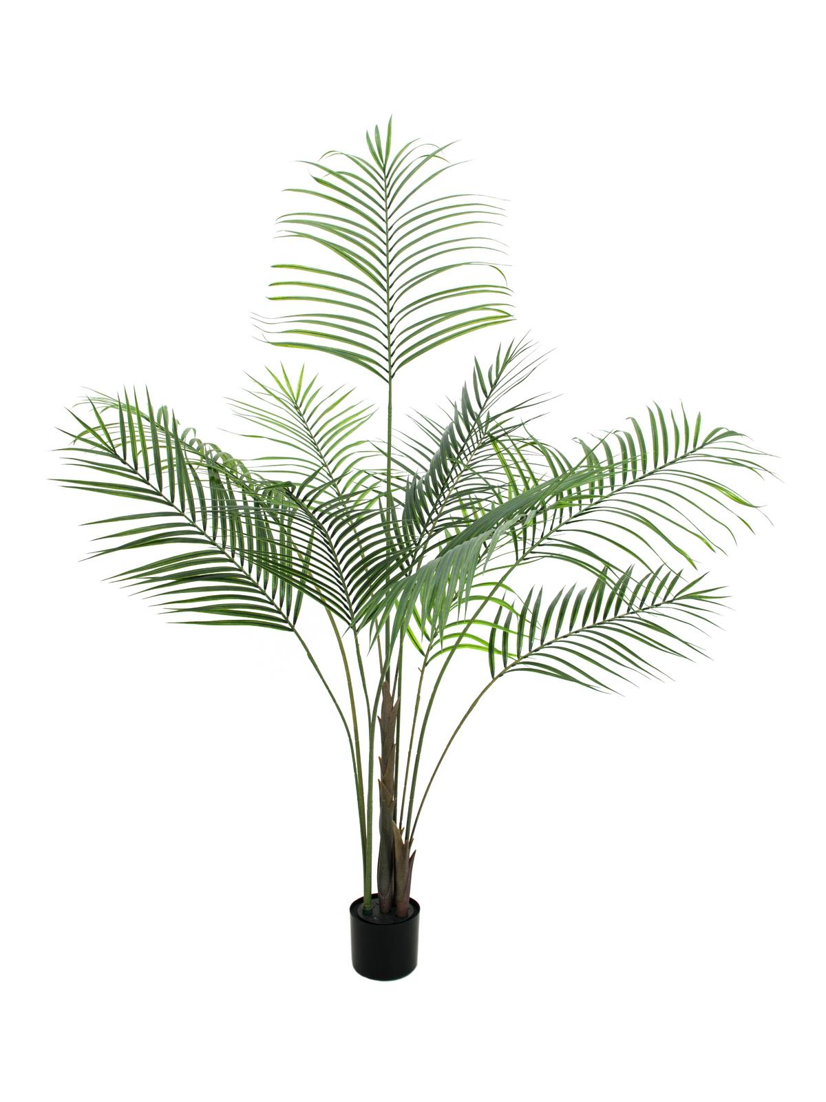 Areca palma s velkými listy, 185 cm