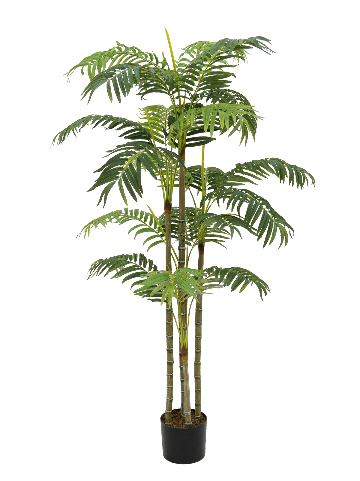Areca palma, více kmenů, 180 cm