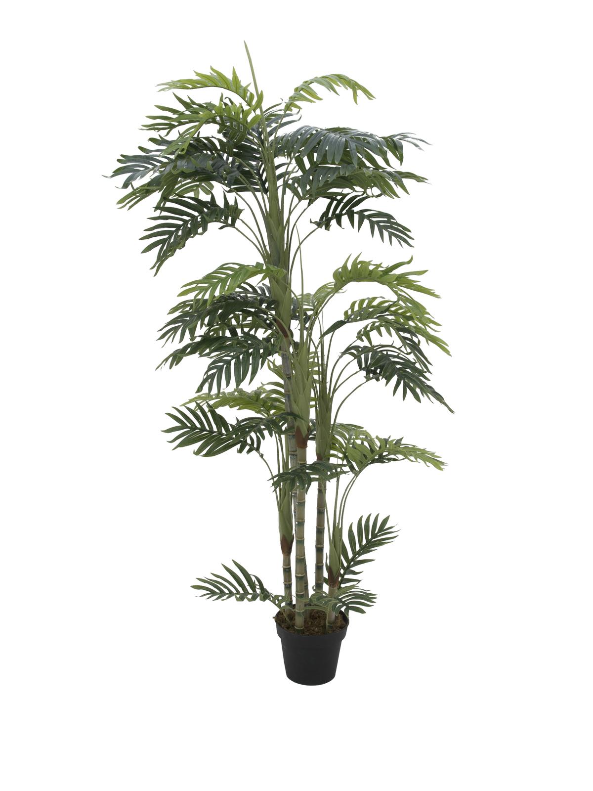 Phoenix palma s více kmeny, 170 cm