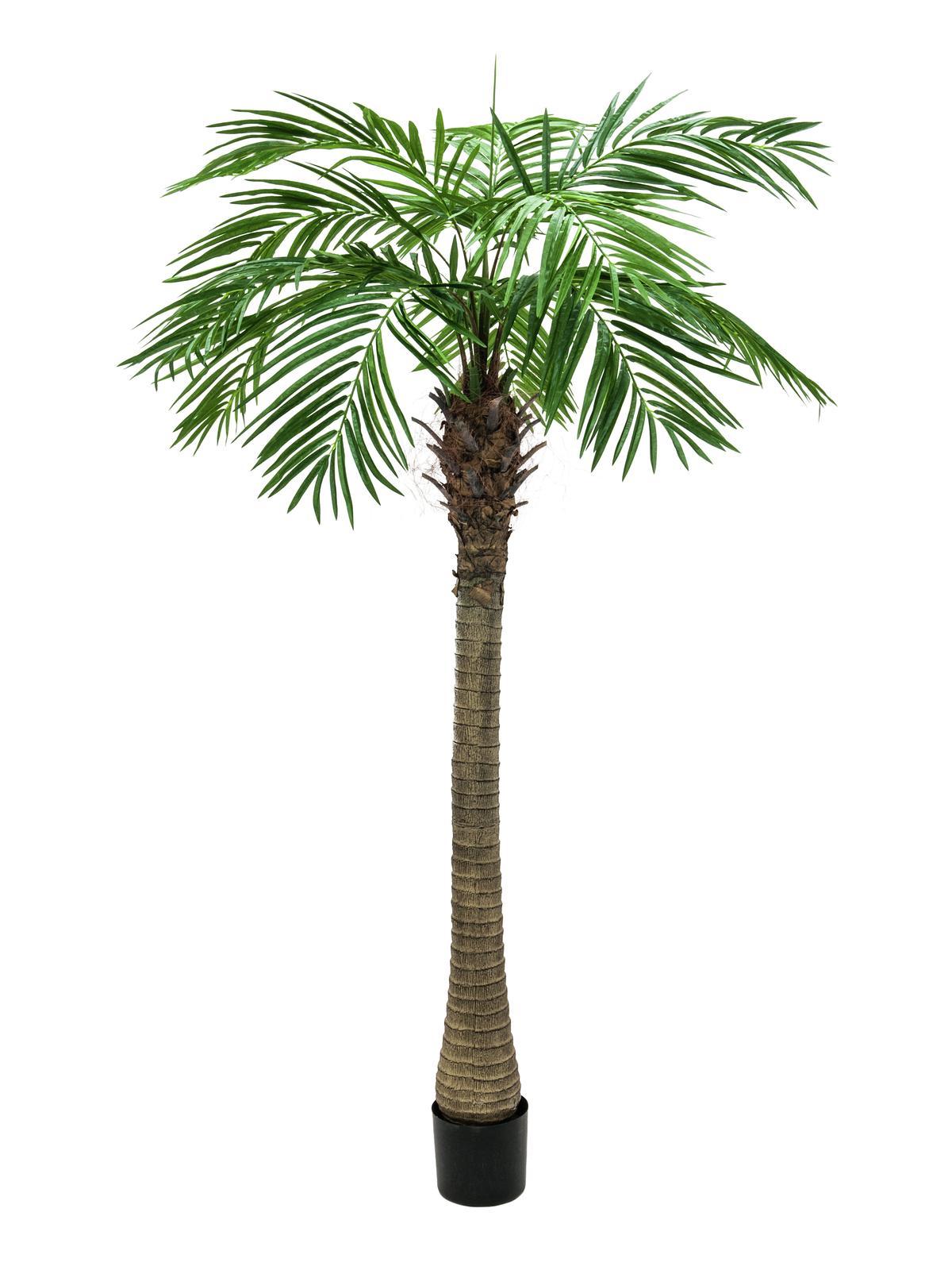 Phoenix palma Luxor, 240 cm