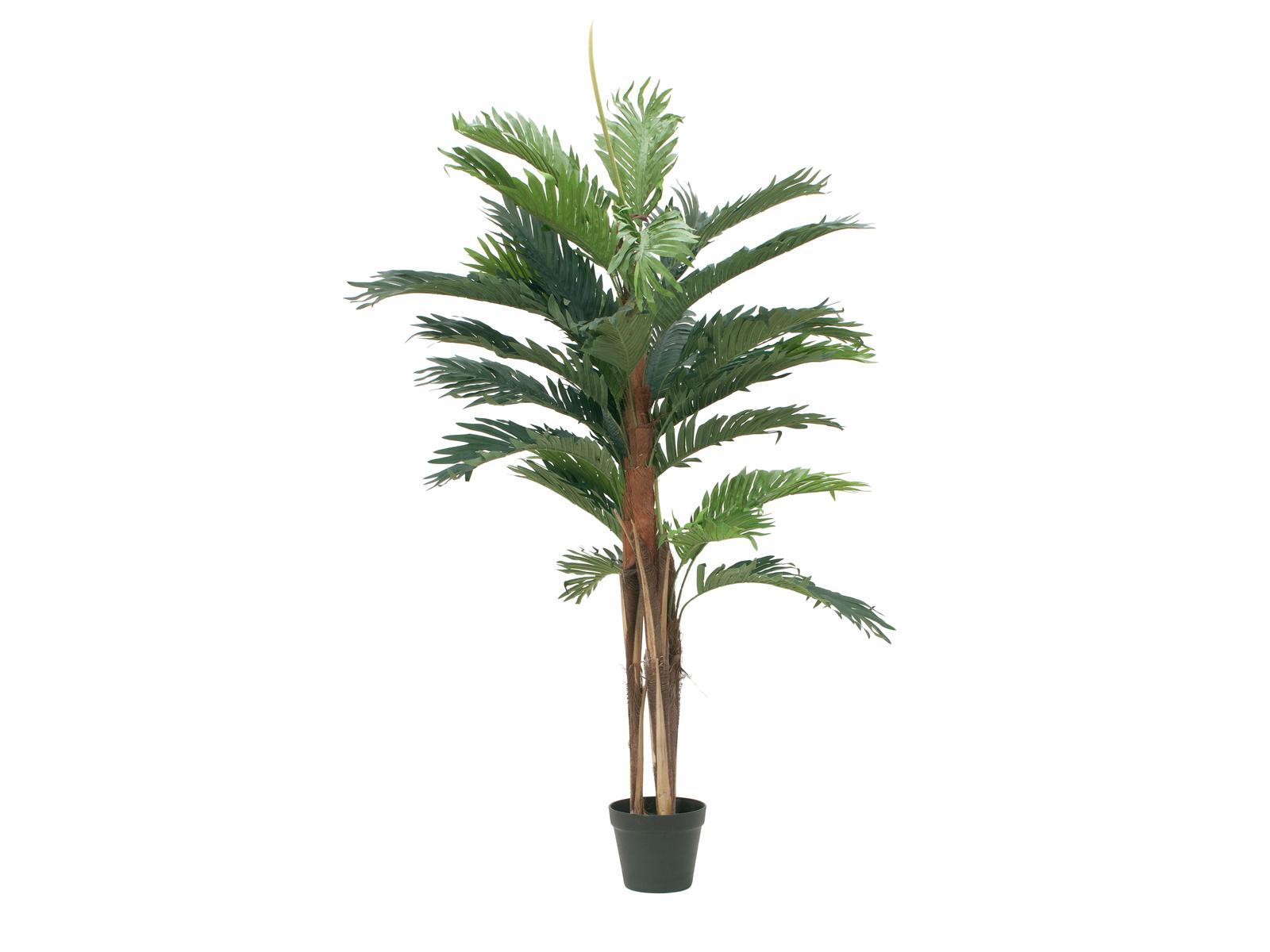 Kentia palma, 120 cm