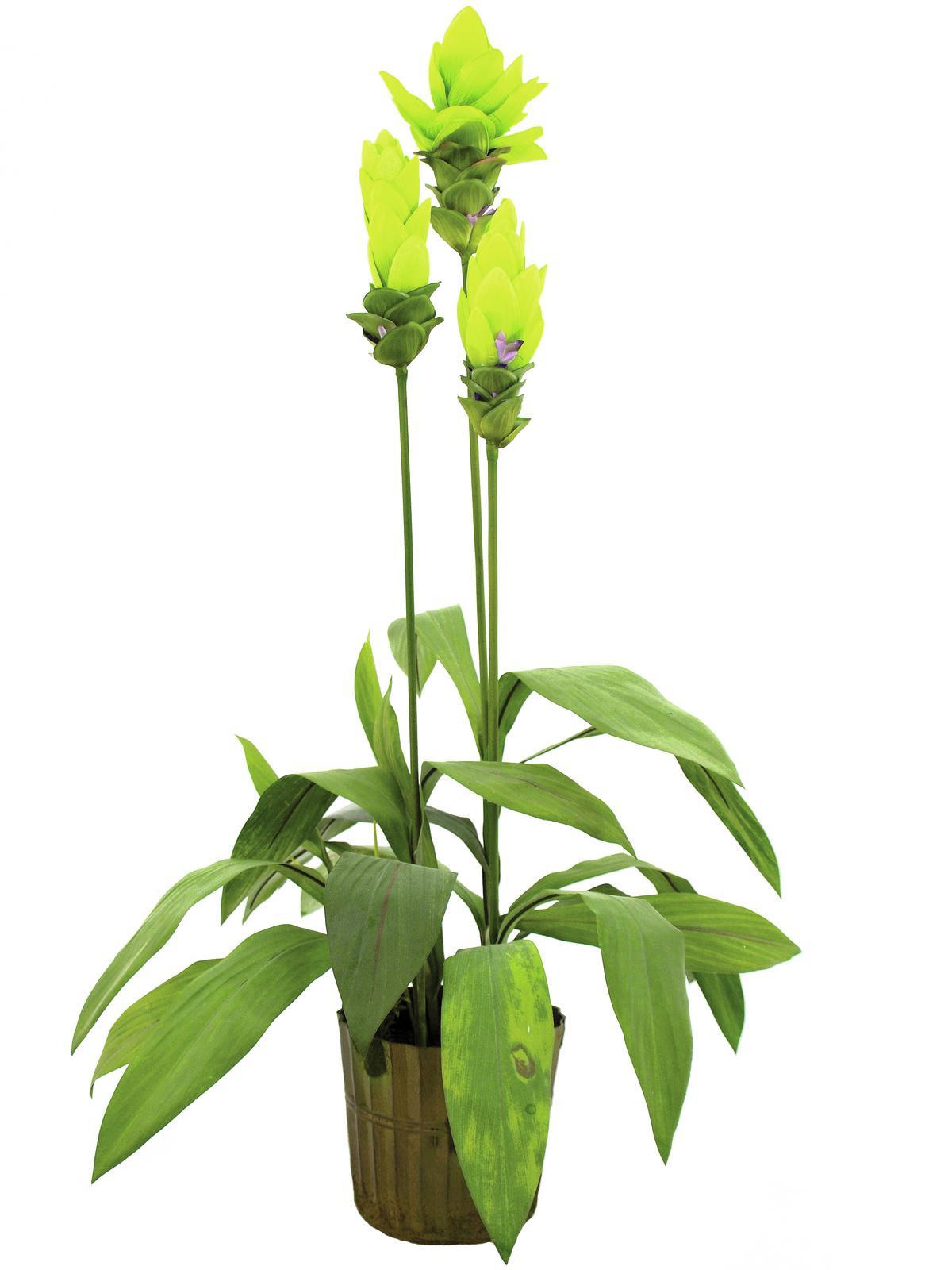 Zázvorová květina v květináči 95 cm