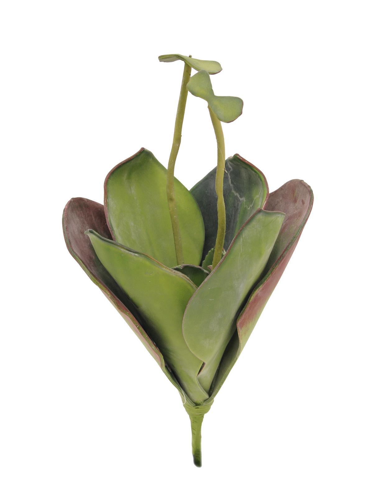 Leknín zelený, zavřený, 45 cm