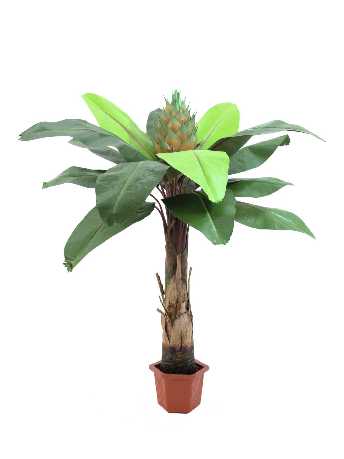 Strelicie palma, 15 listů, 180 cm