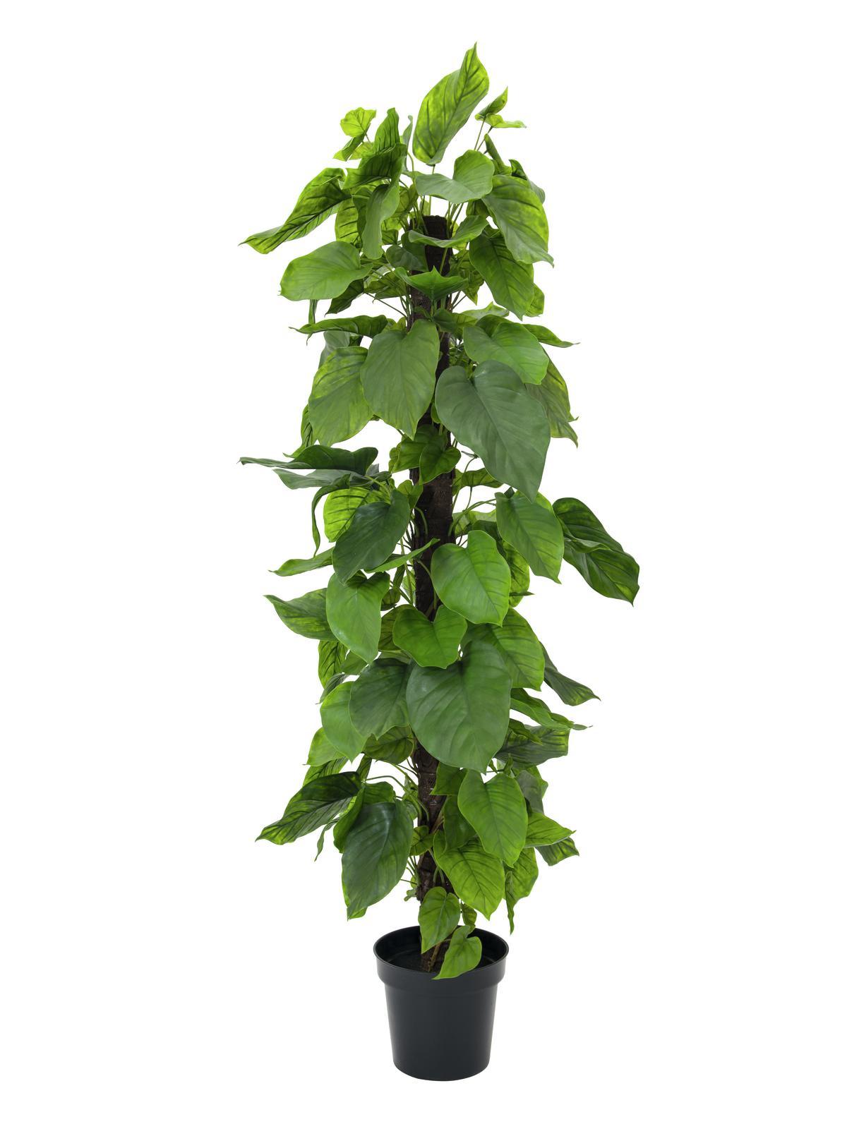 Pothos strom, 180 cm