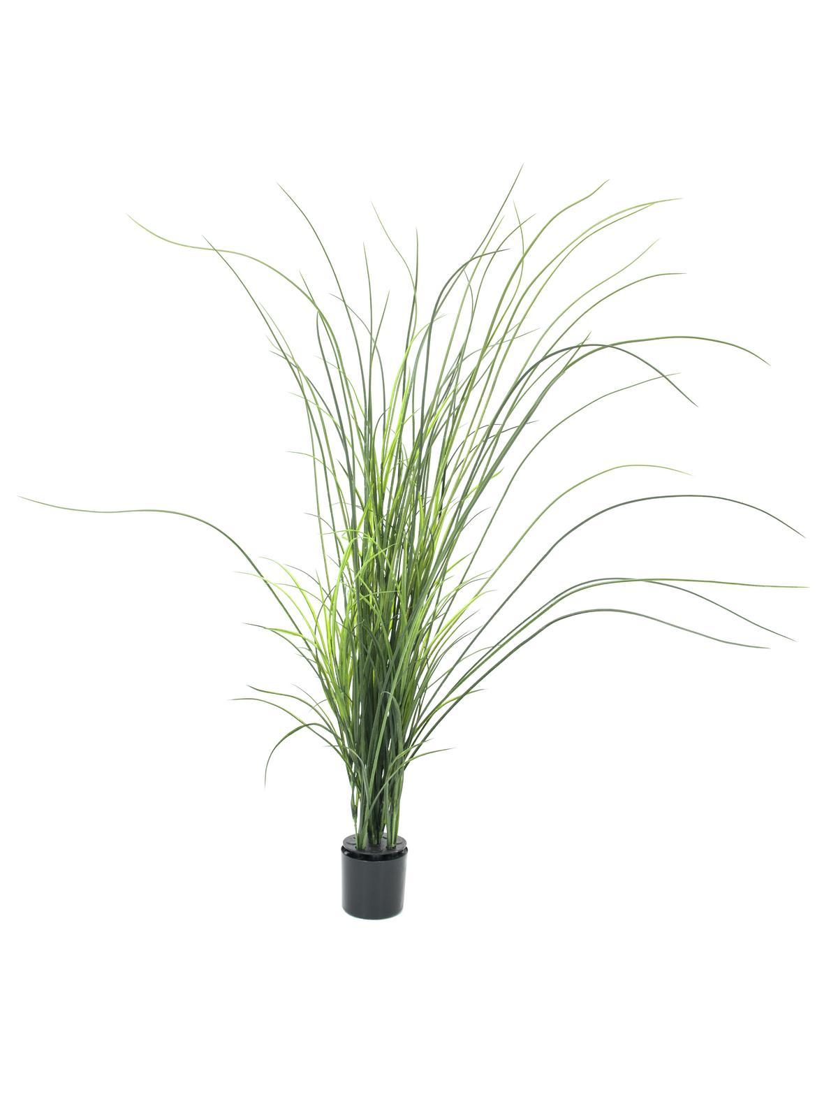 Rákosová tráva, 145 cm