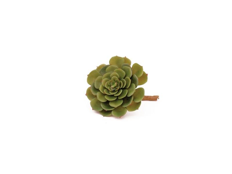 Echeveria kaktus