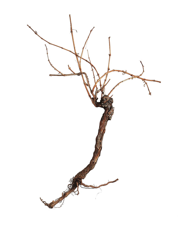 Vinná réva,cca. 1,5m